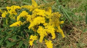 Kelsdonk gele bloemen