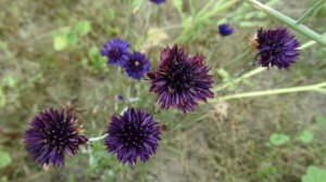 Kelsdonk 4 paarse bloemen